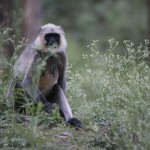 A langur monkey appears to contemplate some wildflowers. (Photo: Kelly Zegers)