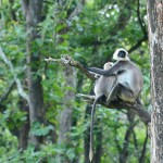 Two gray langurs react to an approaching jeep. (Photo: Kevin Matyi)