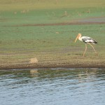 A painted stork stalks along the water's edge. (Photo: Kevin Matyi)