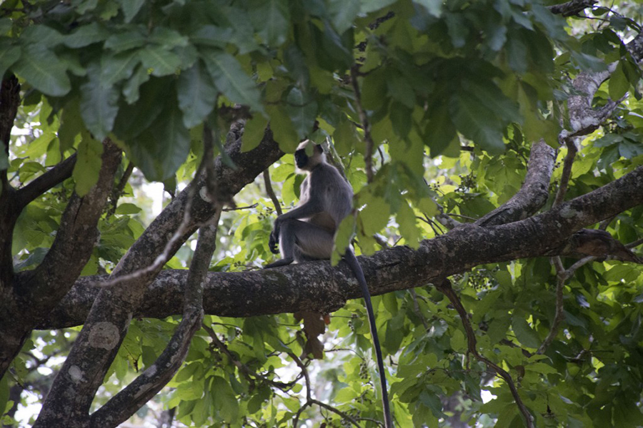 Langur monkeys were easy to spot in Nagarahole National Park. (Photo: Diana Lopez)