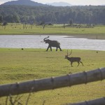 Two males, an elephant and a spotted deer, roam along the river. (Photo: Rick Ricioppo)