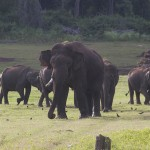 Two of the forest reserve's bull elephants have lost one of their tusks. (Photo: Rick Ricioppo)