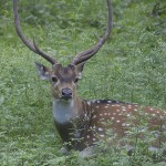 A spotted deer in the brush. (Photo: Rick Ricioppo)