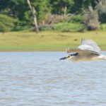 A black-crowned night heron is caught in mid-flight.(Photo: Kevin Matyi)