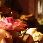 One lotus blossom rests atop lotus buds. (Photo: Krysten Massa)