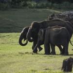 Three elephants move towards the river. (Photo: Kelly Zegers)